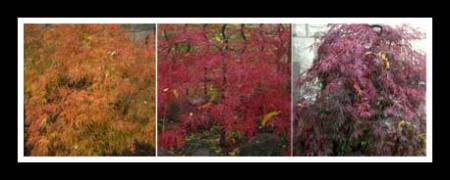 Japanese Maples Troy St. framed